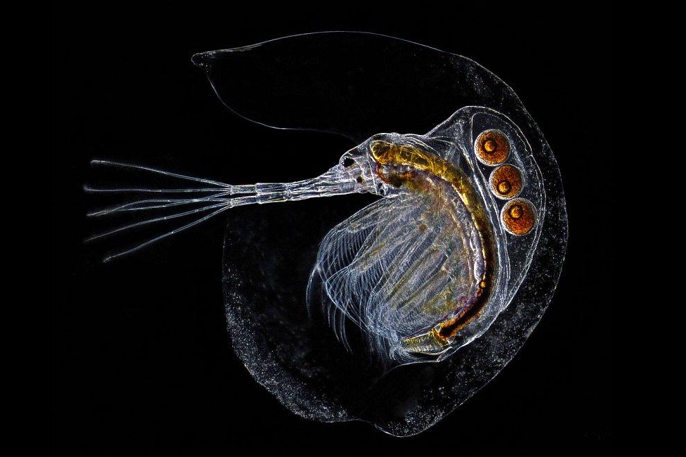 Водяная блоха дафния — мелкое ракообразное, представитель планктона