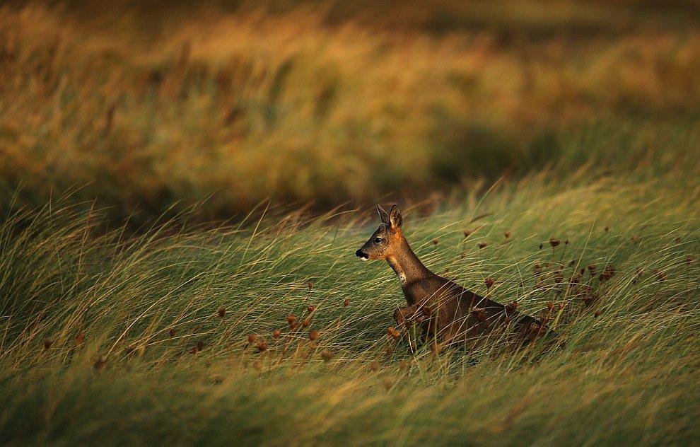 Косуля — маленький изящный олень