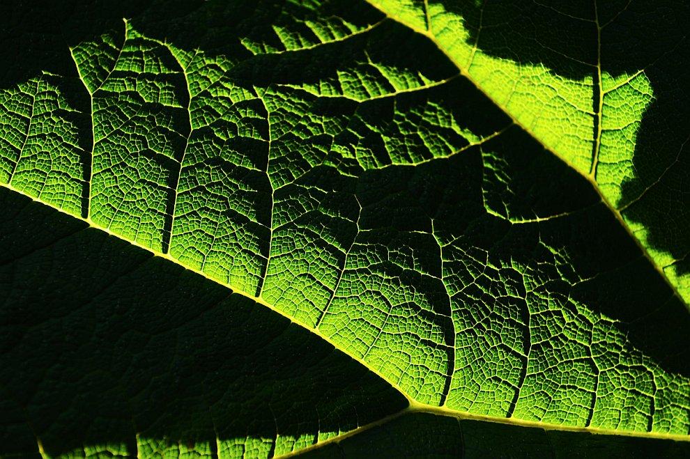 Еще зеленый. Это растение называется Гуннера