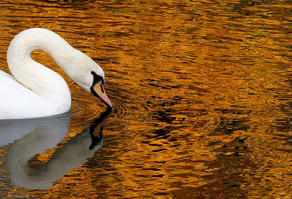 Белый лебедь в Летнем саду в Санкт-Петербурге