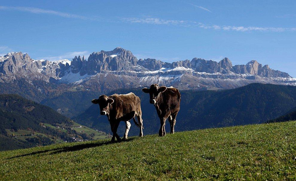 Буренки в Доломитовые Альпы на севере Италии