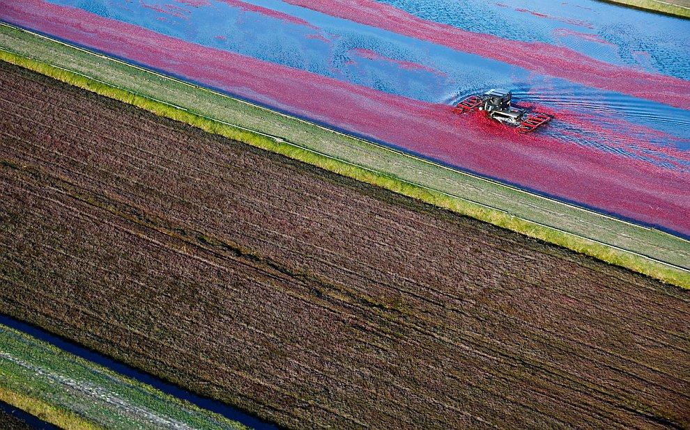 Сбор клюквы на болотах в штате Висконсин