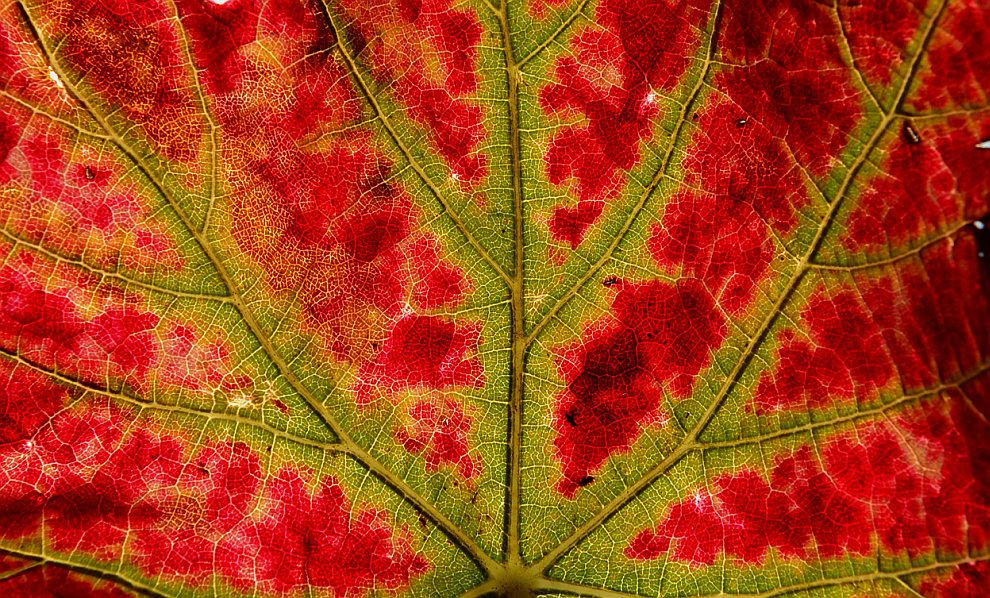 Осенняя трансформация листа