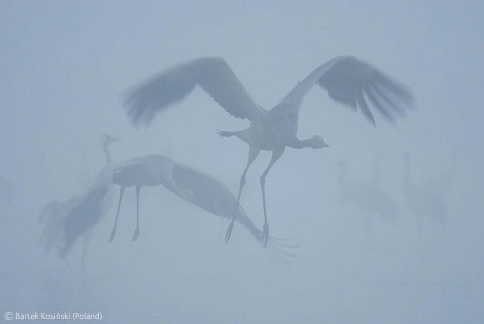 Серые журавли — величественные птицы