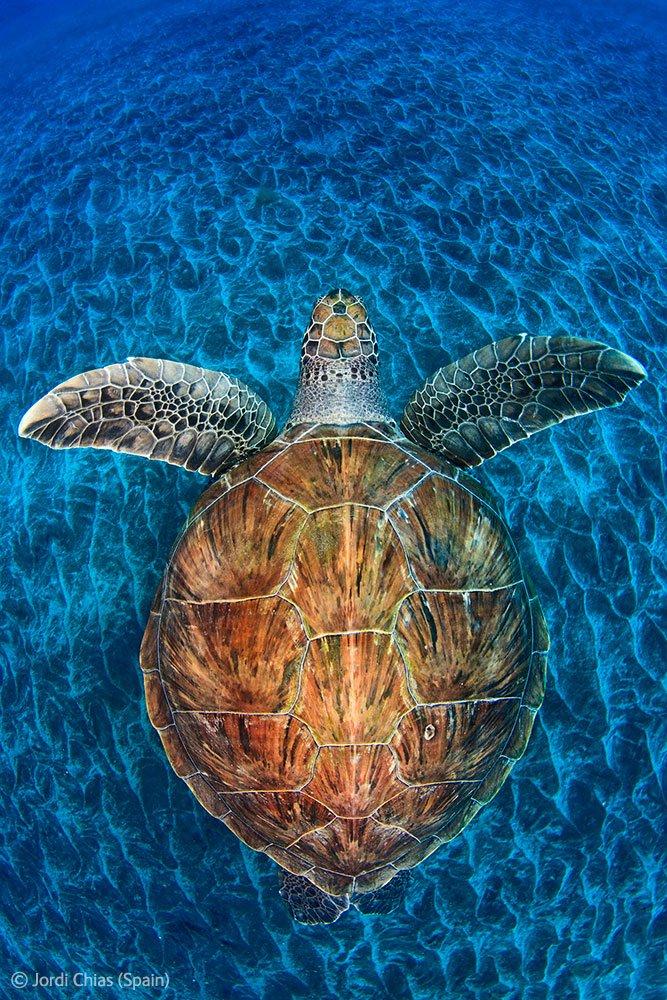 Морская черепаха у острова Тенерифе