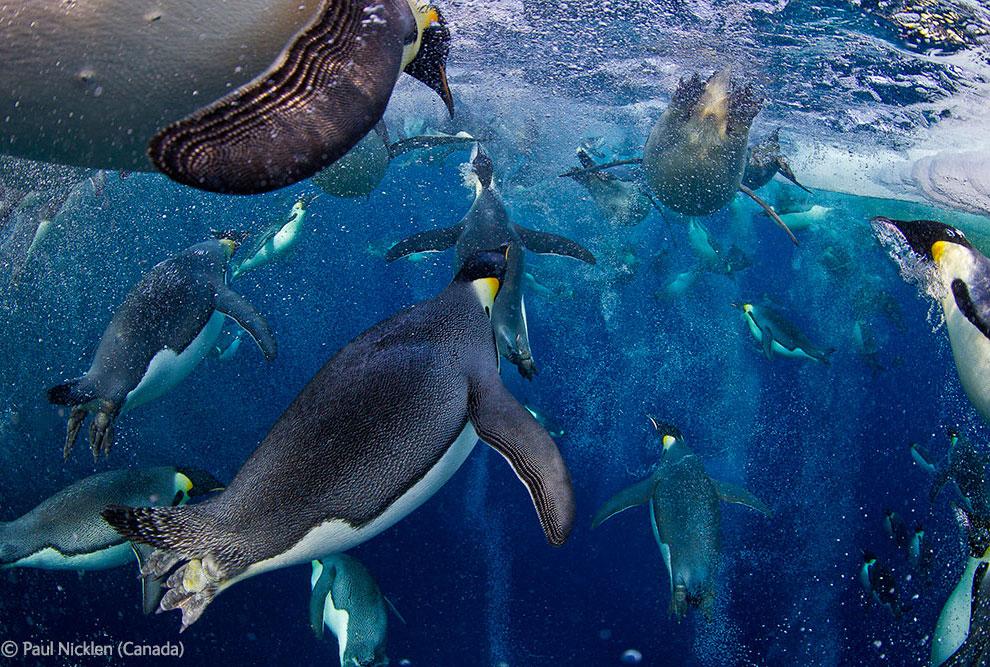Императорские пингвины в море Росса в Антарктиде
