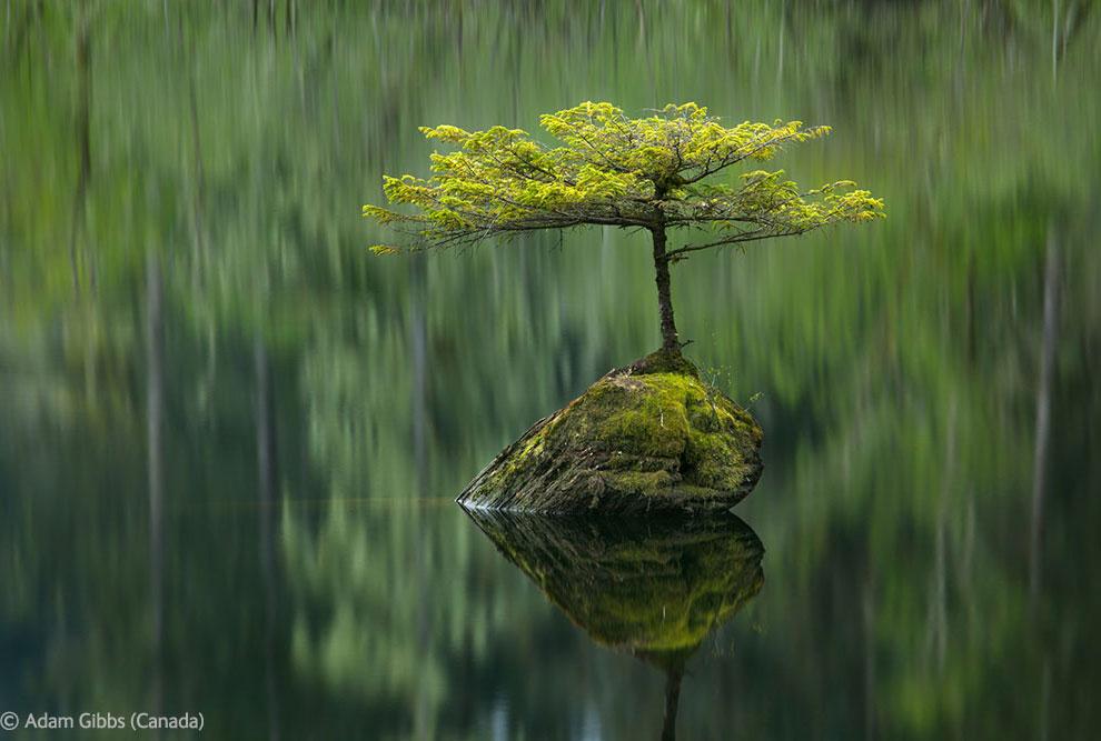 Одинокая ель и озеро