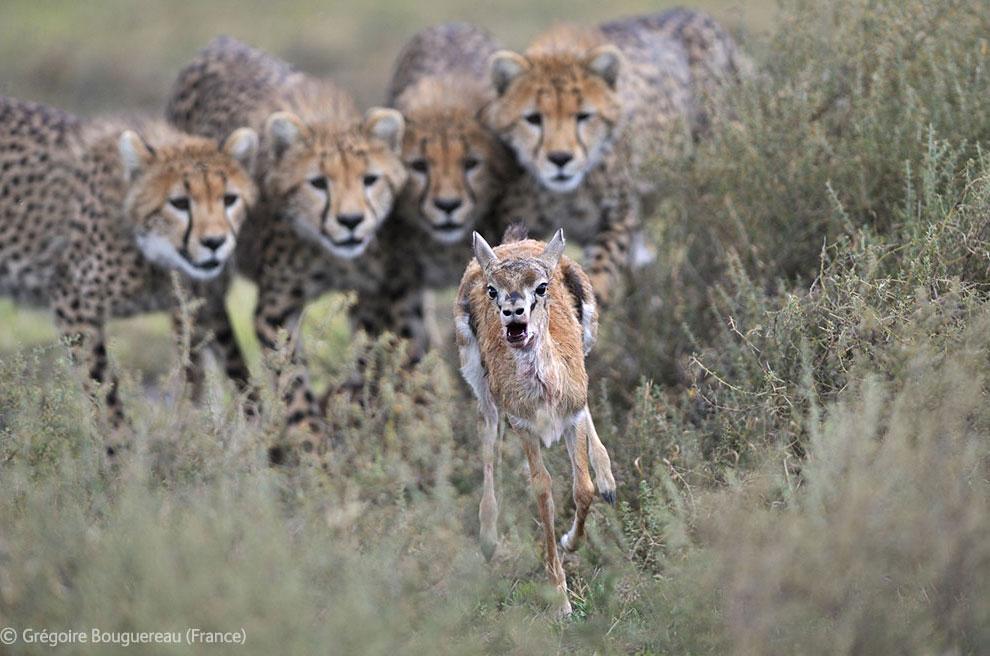 Самка гепарда поймала, но не убила газель Томсона, чтобы детеныши могли попрактиковаться в охоте