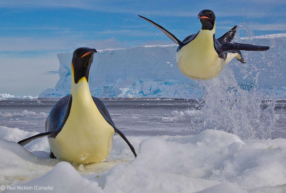 Императорский пингвин в прыжке из воды