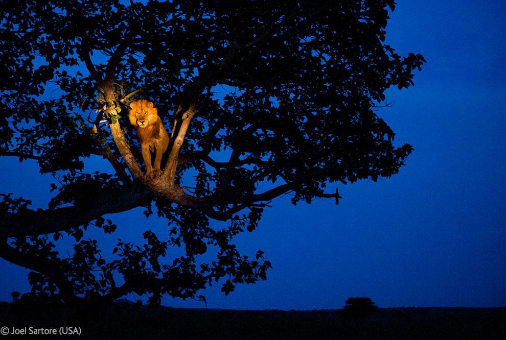 Лев на дереве в Национальном парке королевы Елизаветы, Уганда