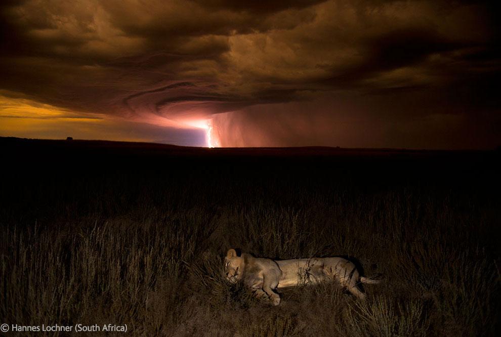 Лев и молнии в пустыне Калахари