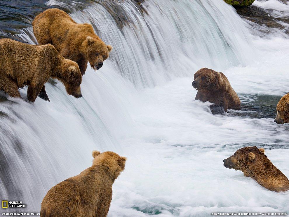 Бурые медведи ловят нерку на Аляске