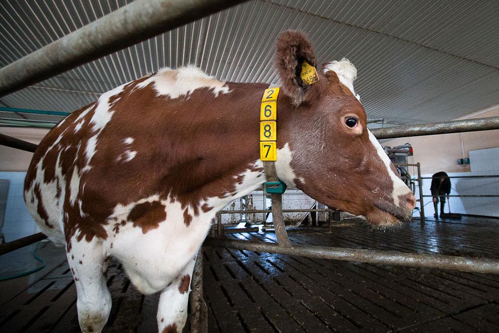 О коровах и роботах
