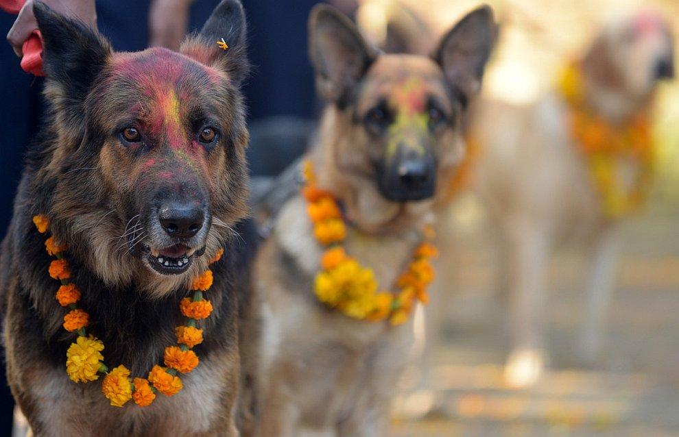Непальские полицейские собаки