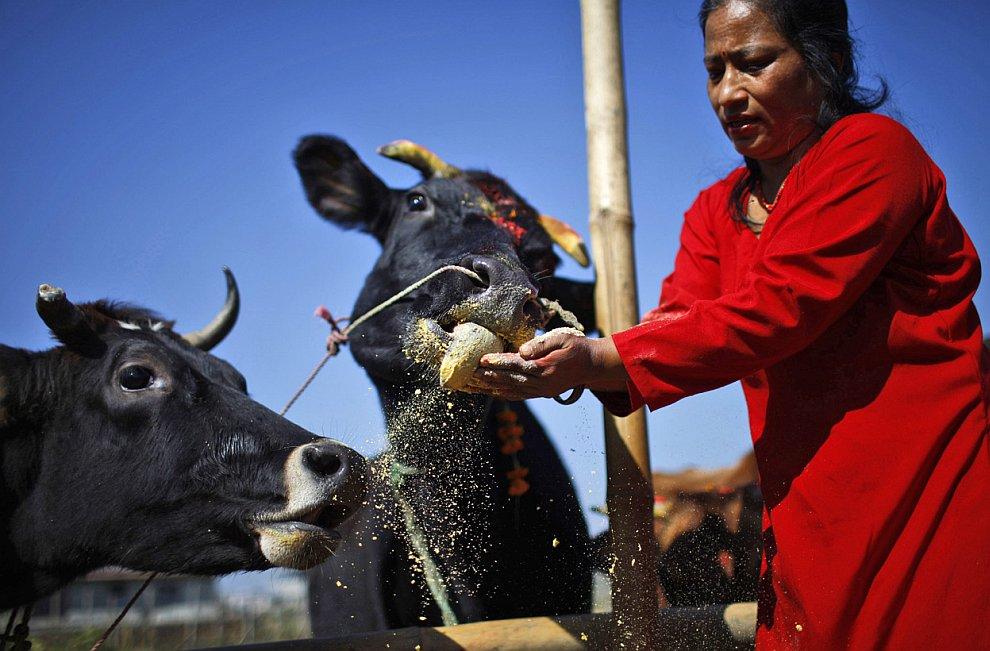 Корова традиционно почитается в индуизме как священное животное