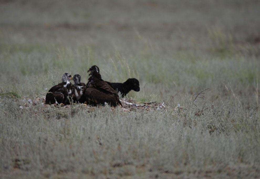 Из жизни степных орлов