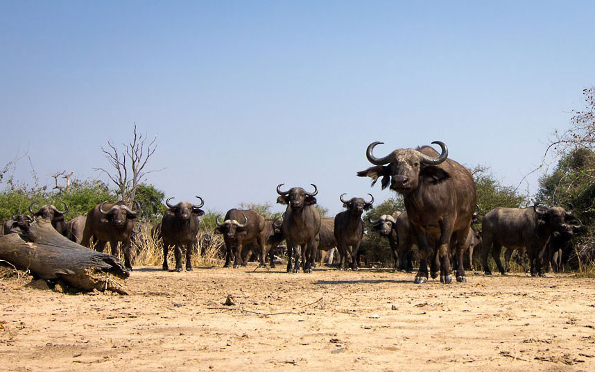 Стадо буйволов