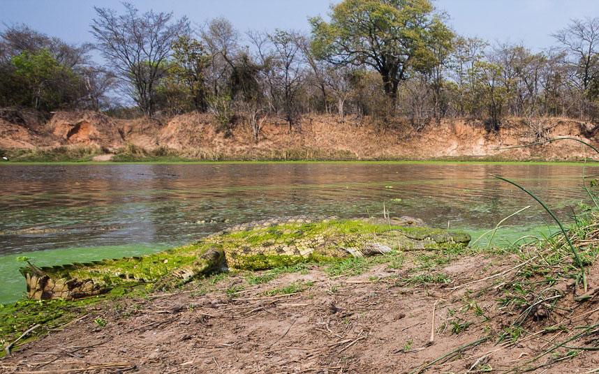 Крокодил у реки