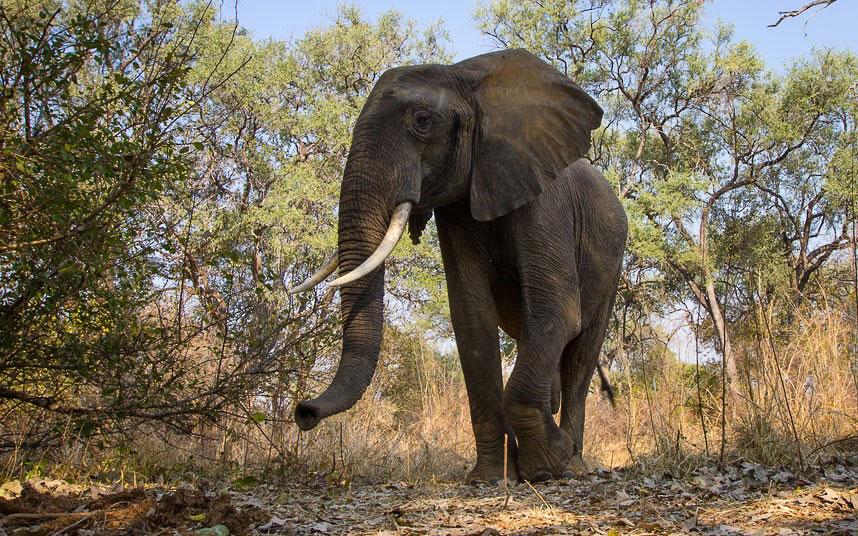 Слон шагает по своим делам