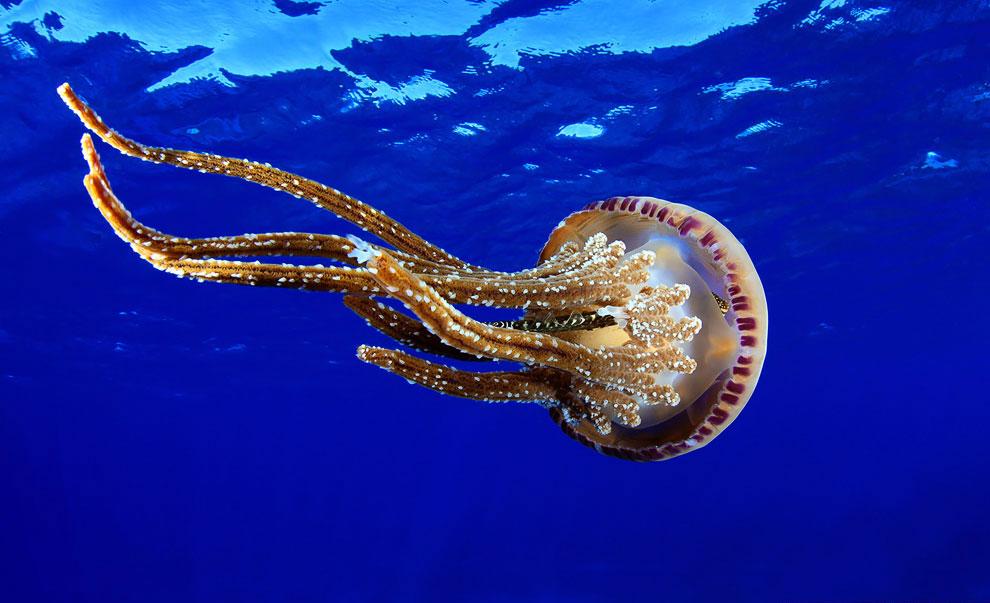 Жалящая медуза Pelagia noctiluca