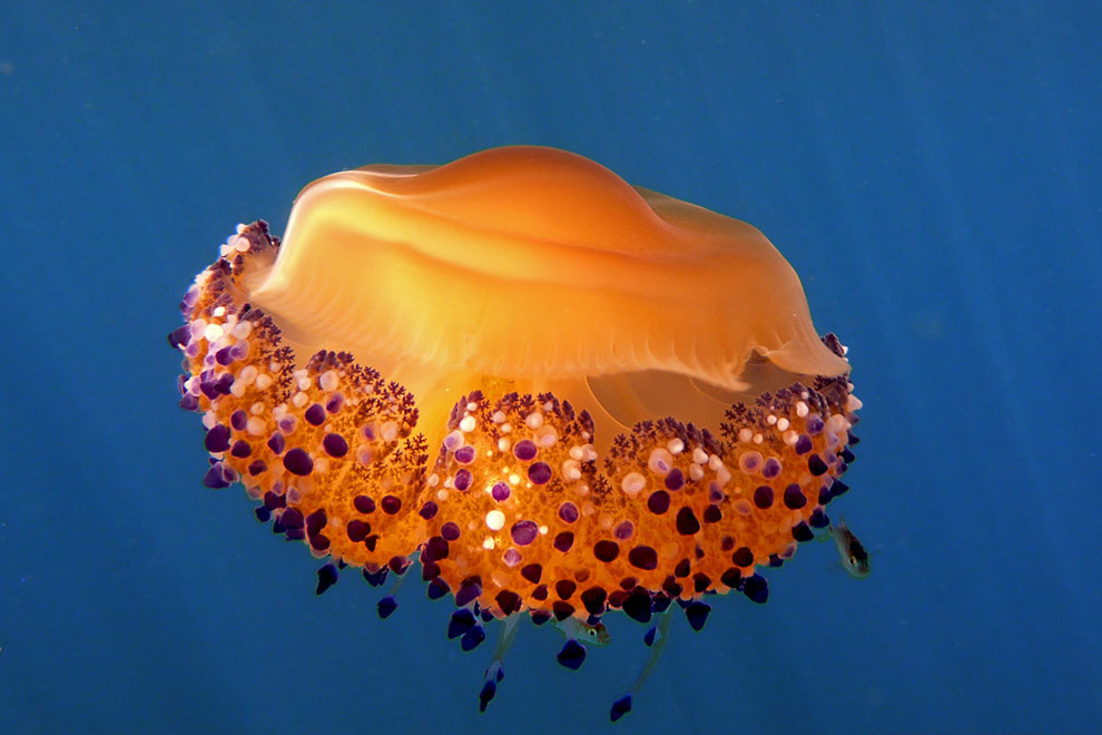 Медуза Кассиопея, живущая, в основном, в Средиземном море