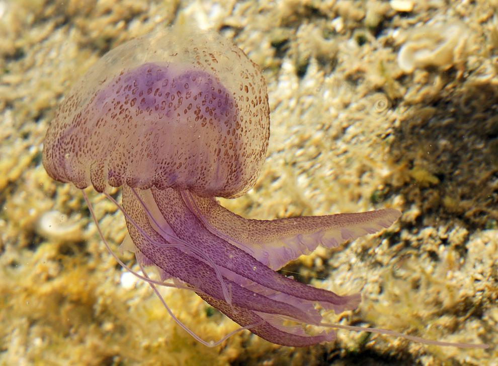 Ядовитая медуза Пелагия ночесветка