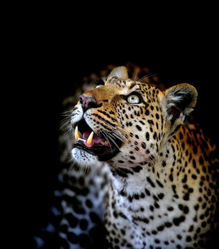 Леопарды из Ботсваны
