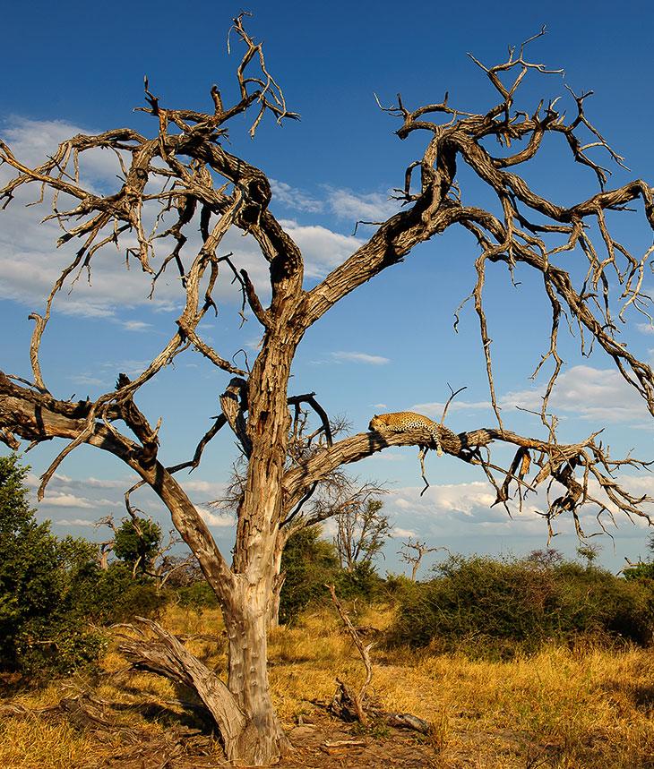 На этом дереве я нашел леопарда с добытой импалой