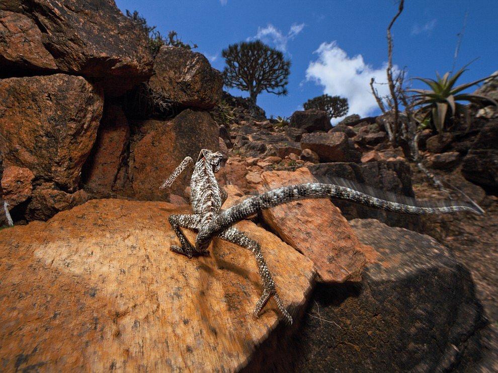 Сокотранский хамелеон