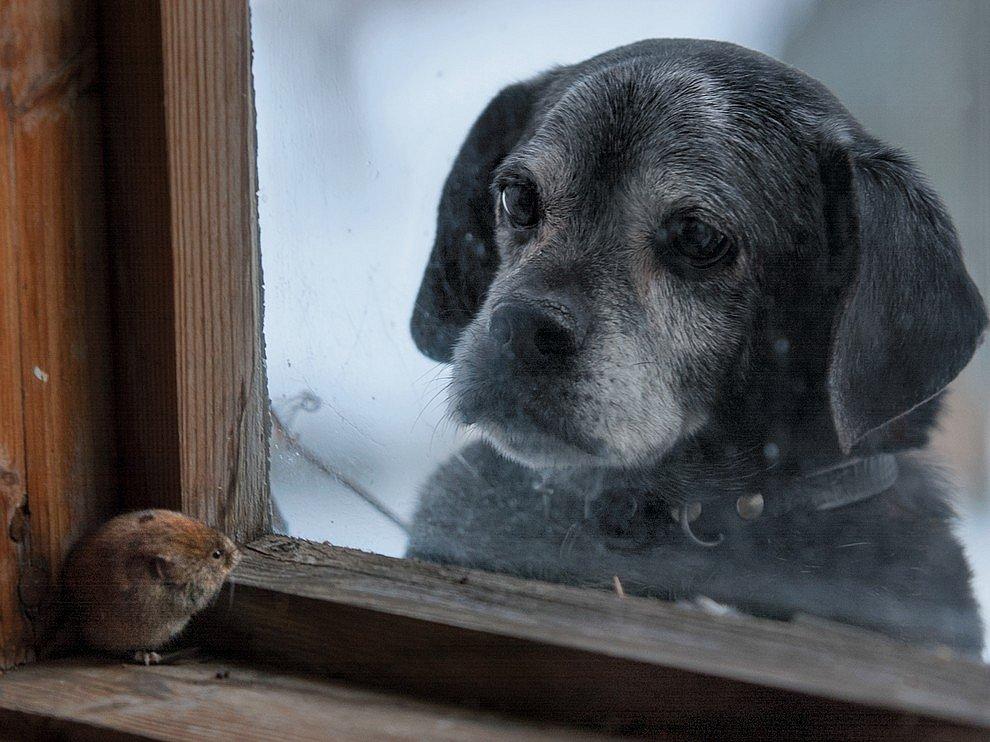 Собака и полевка