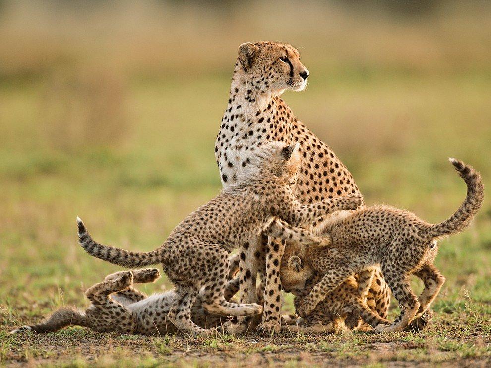 Семья гепардов, Танзания