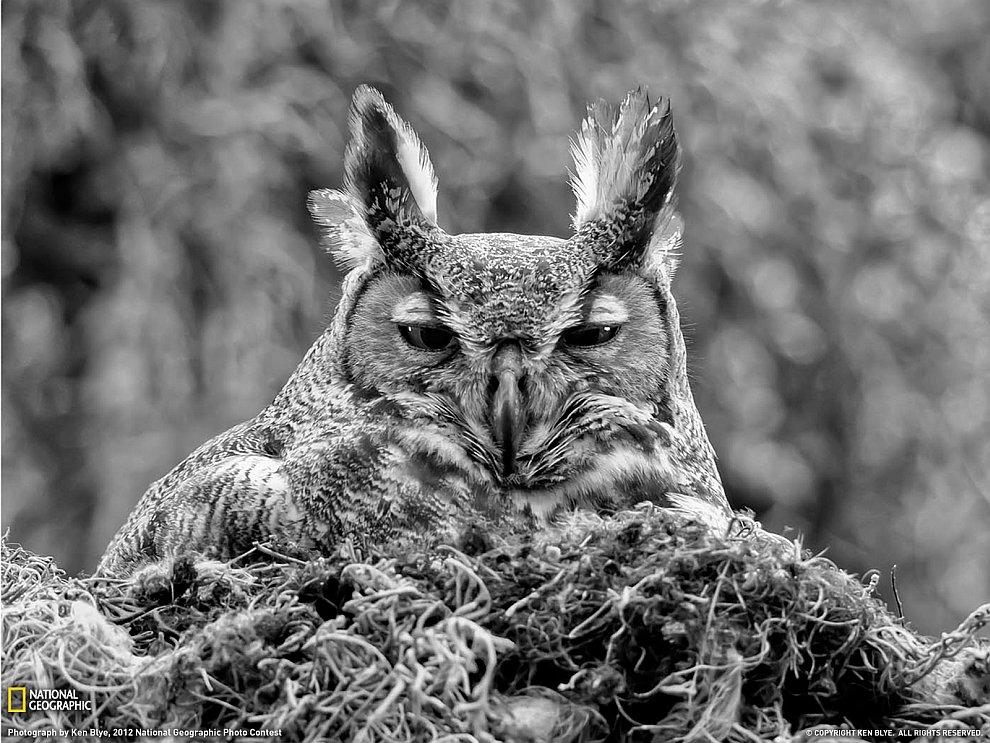 Мудрый взгляд: большая рогатая сова