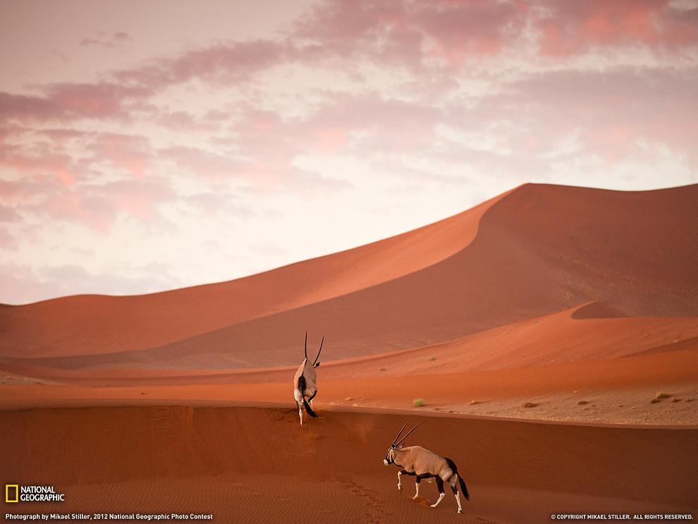 Ориксы, или сернобыки в Национальном парке в Намибии