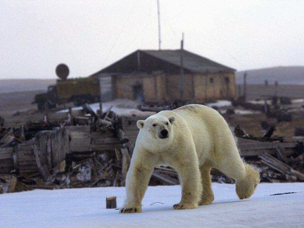 Белый медведь прогуливается по острову Греэм-Белл
