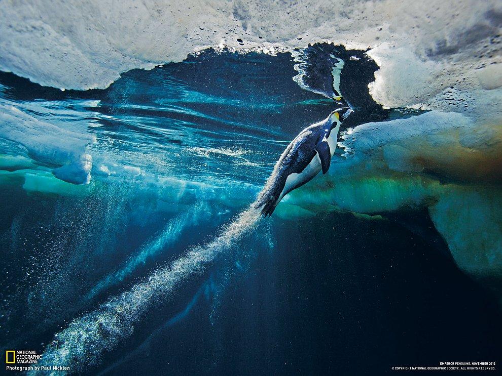 Готовясь выскочить из воды на лед, императорский пингвин несется со скоростью торпеды
