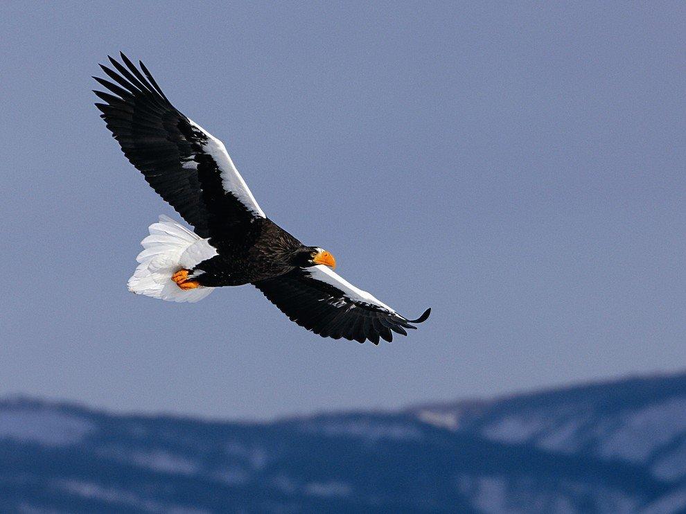 Белоплечий орлан над Камчаткой