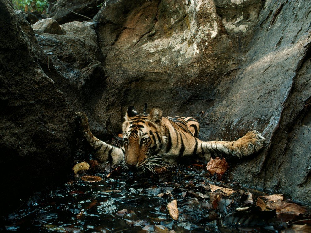 Индийский тигр утоляет жажду в пятидесятиградусную жару