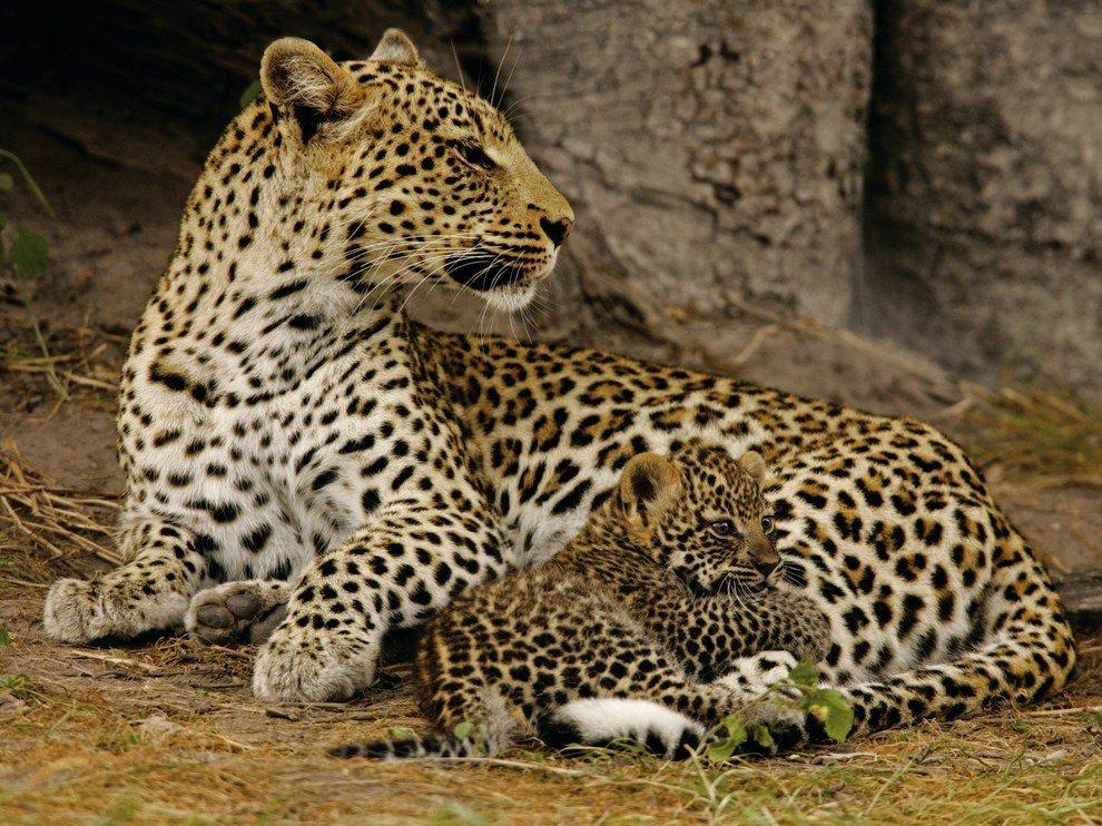 Самка леопарда должна многому научить своего детеныша, чтобы он смог выжить