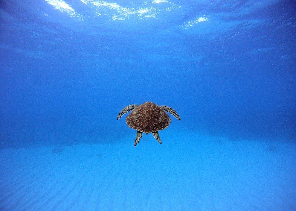 Заплыв с морской черепахой