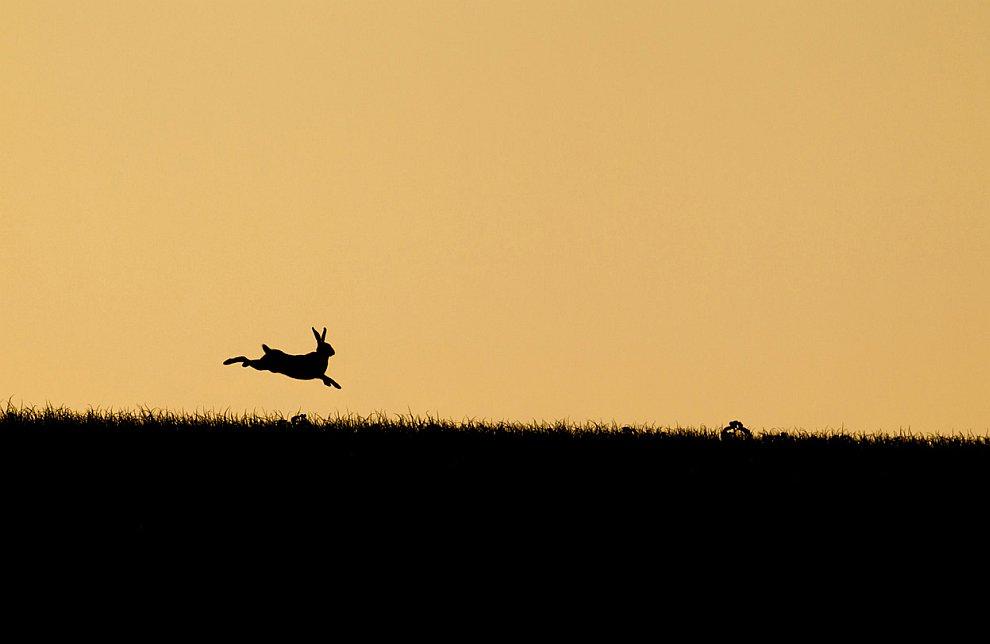 «Летящий» заяц на закате