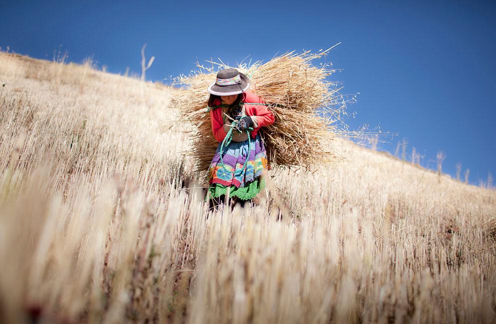 Сбор урожая ячменя в сельской местности в Андах