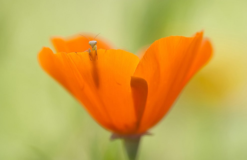 Крошечный богомол в цветке мака