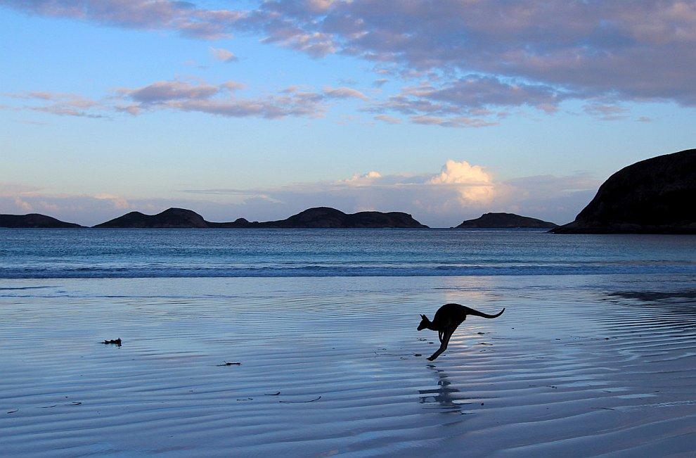 Одинокий кенгуру на пляже в Эсперансе, Западная Австралия