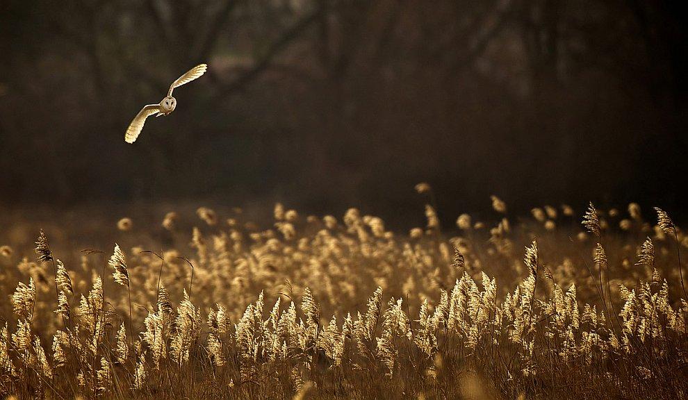 Охота в сумерках: Сова