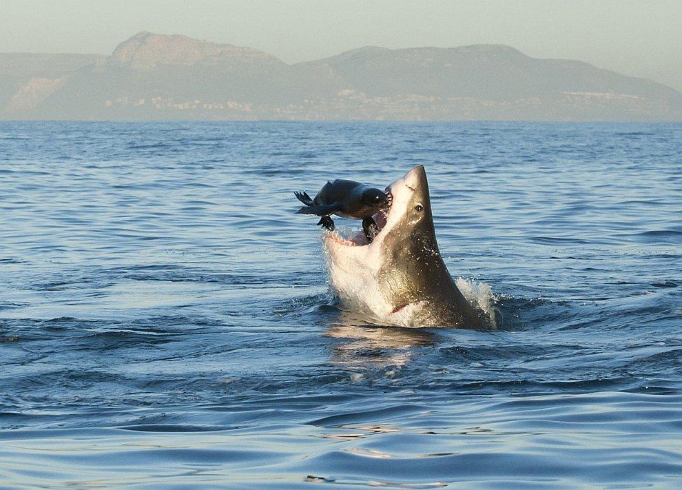 Охота белой акулы