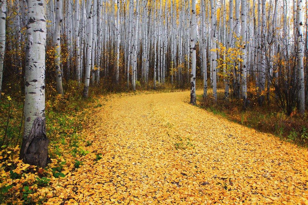 Золотая тропинка через осиновый лес в штате Колорадо