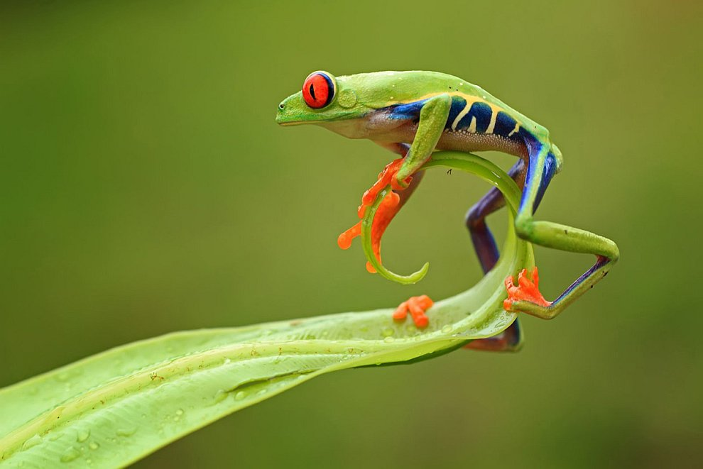 Акробат. Маленькая лягушка на краю листа