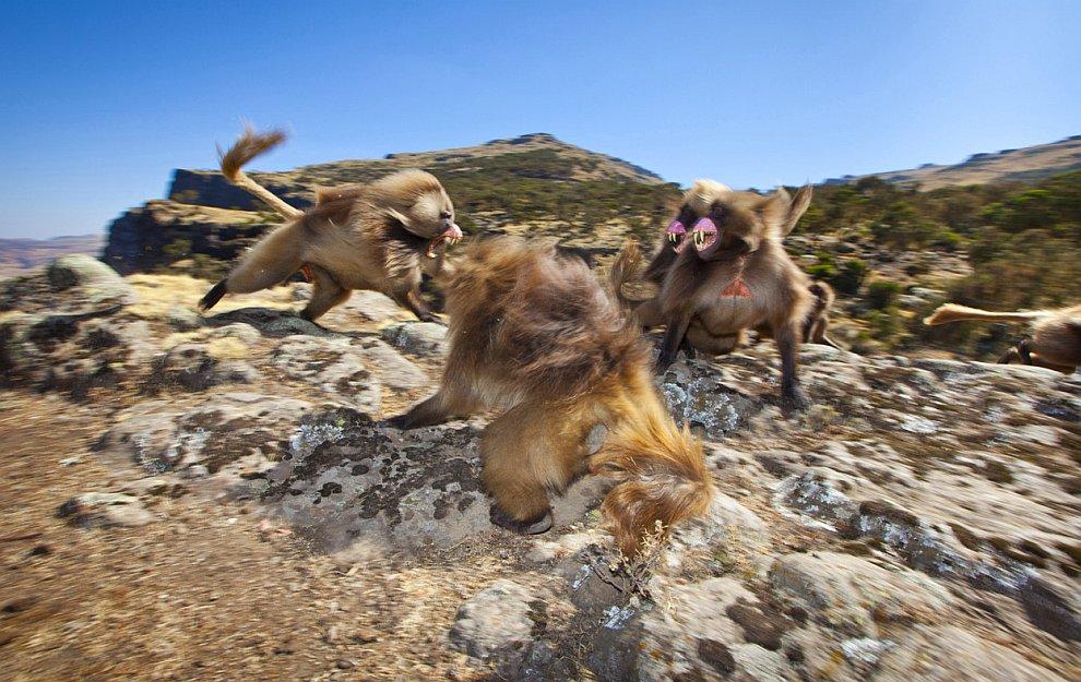 Разборки у бабуинов