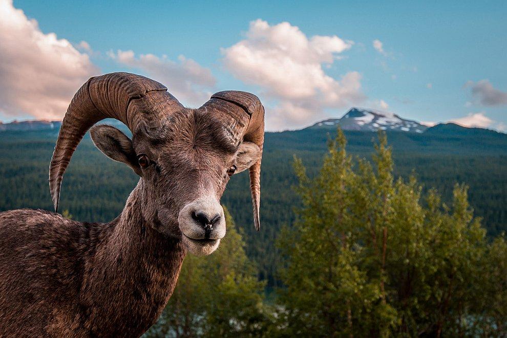 Портрет горного козла