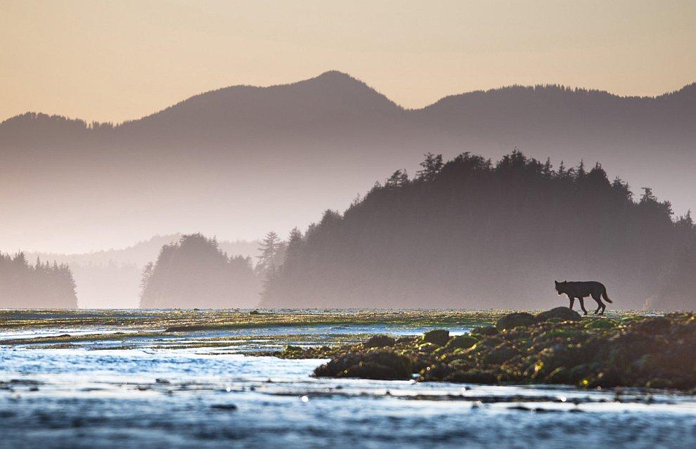 Черный волк в биосферном заповеднике на западном побережье острова Ванкувер